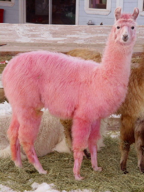1000 Images About Llamas Of Destiny On Pinterest